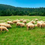 BSEが未だ発生していないニュージーランドの羊